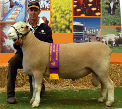 Ulandi Park 36-10 Reserve Champion Ram Adelaide 2011
